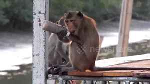 Heartbreaking moment wild monkey is found with plastic bottle stuck on his wrist [Video]