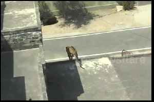 Leopard charges through Indian town and only subdued after seven-hour chase [Video]