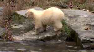 Berlin zoo proudly shows off polar bear cub [Video]