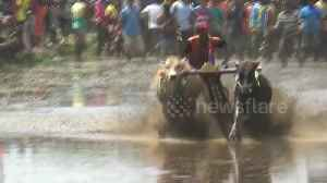 A gritty competition! Indonesian town hosts thrilling ox-plough racing [Video]