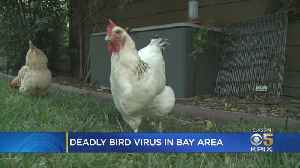 Rooster Tests Positive For Deadly Contagious Disease In Redwood City [Video]