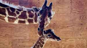 News video: April The Giraffe Gives Birth To Fifth Calf