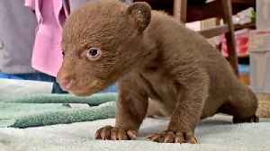 Lake Tahoe Wildife Care Takes In Two Tiny Bear Cubs [Video]