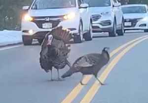 Turkey Halts Traffic on New Hampshire Road So Others Can Cross [Video]