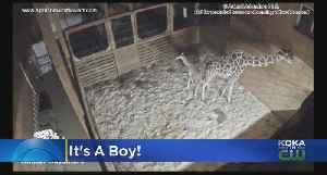 News video: April The Giraffe Welcomes Another Male Calf