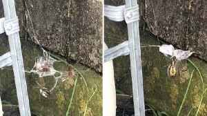 Killer Spider Catches And Wraps Up Two Poisonous Wolf Spiders In Web [Video]