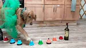 Golden Retriever plays 'Danny Boy' on bells for St. Patrick's Day [Video]