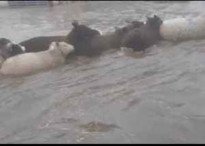 Sodden Sheep Herded Out of Flooded Yorkshire Farmyard [Video]