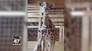 April the Giraffe welcomes new baby [Video]