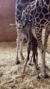 WEB EXTRA: April The Giraffe Gives Birth For Fifth Time [Video]