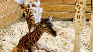April The Giraffe Gives Birth To Healthy Male Calf [Video]