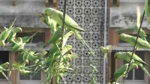 Indian man feeds thousands of parakeets everyday from outside his apartment [Video]