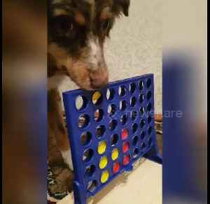 Clever dogs enjoy playing Connect Four [Video]
