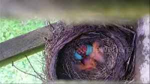 Newborn robin joins siblings in touching nest time-lapse [Video]