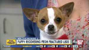 Chihuahua recovering at SPCA Tampa Bay after fracturing two front legs [Video]