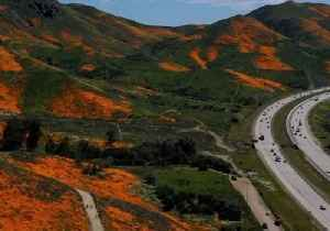 Thousands Flocking to See Super Bloom Create 'Public Safety Crisis' for Californian Town [Video]
