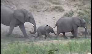 Baby elephant's excitement results in tumble downhill [Video]