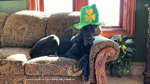 Festive Great Dane models St Patrick's Day shamrock hat [Video]