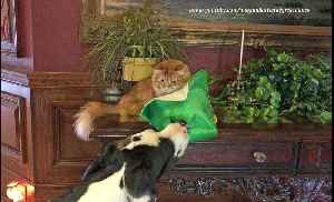 Festive Great Dane steals cat's shamrock hat [Video]