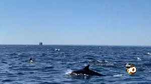 'Megapod' of dolphins seen off the coast of San Diego [Video]