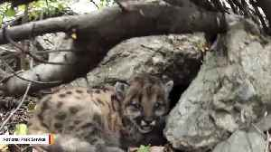 Mountain Lions May Vanish From Southern California Regions Within 50 Years [Video]