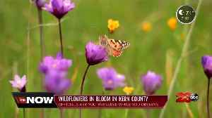 Protecting the wildflowers in Kern County [Video]