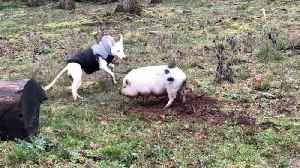 You're Swine Forever! Ugly Wonky-faced Dog Forms Unlikely Friendship With Pig [Video]