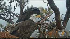 Camera Keeps Close Watch On Bald Eagles In Big Bear [Video]