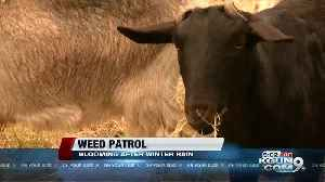 Wet spring weather blankets southern Arizona with weeds [Video]