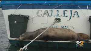 Newport Harbor Commission Searching For Humane Solution To Sea Lion Problem [Video]