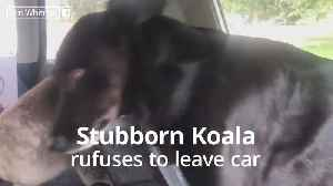 Koala refuses to leave air conditioned car [Video]