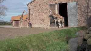 Baby giraffe takes first steps outside at Chester Zoo [Video]