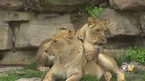 Wild Wednesday: African Lions At The Fort Worth Zoo [Video]