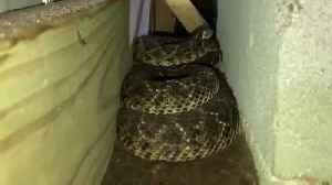 Snake removers find 45 rattlesnakes underneath Texas house [Video]