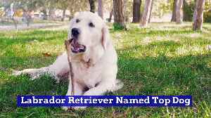 Labrador Retriever Named Top Dog [Video]