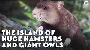 The Island of Huge Hamsters and Giant Owls [Video]