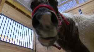 The SPCA Serving Erie County has a Mini Horse that needs a home [Video]