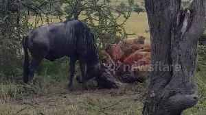 Pack of hyenas bring down pair of fighting wildebeest [Video]