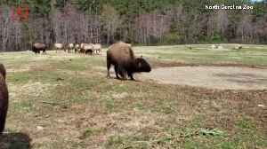 Watch This 800-Pound Bison Do Its 'Happy Dance' For The First Day of Spring [Video]