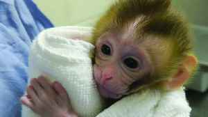 Meet Grady, the rhesus macaque whose birth inspires hope for children with cancer [Video]