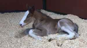 Adorable Clydesdale Foal Born Just in Time for Warm Springs Ranch Opening Day [Video]