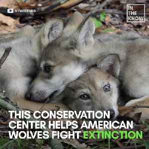 New York conservation center helps American wolf populations fight extinction [Video]