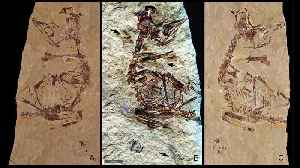 125-Million-Year-Old Feathers Reveal Bird Came 'Out Of The Egg Running' [Video]
