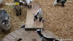Pygmy Goats Journey Though Danger for Playground Fun [Video]