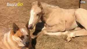 Dog Daddy! Dog Takes Care Of Orphaned Infant Horse [Video]