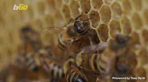 Scientists Develop World's First 'Walkie Talkie' for Bees and Fish [Video]