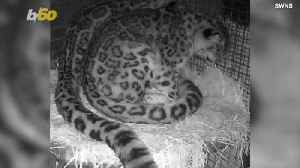These Snow Leopards Are Total Couple Goals [Video]