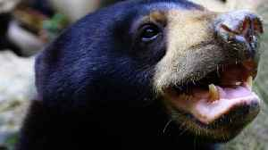 Scientists Document Exact Facial Mimicry In World's Smallest Bears [Video]