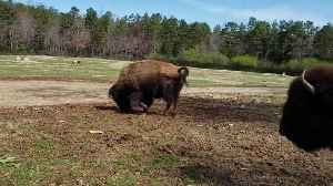 Bison Celebrates First Day of Spring With 'Happy Dance' [Video]
