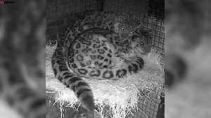 Two loved-up snow leopards have cuddle [Video]